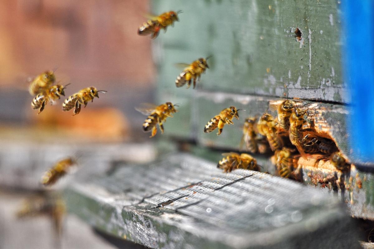 Jak pszczoły robią miód?